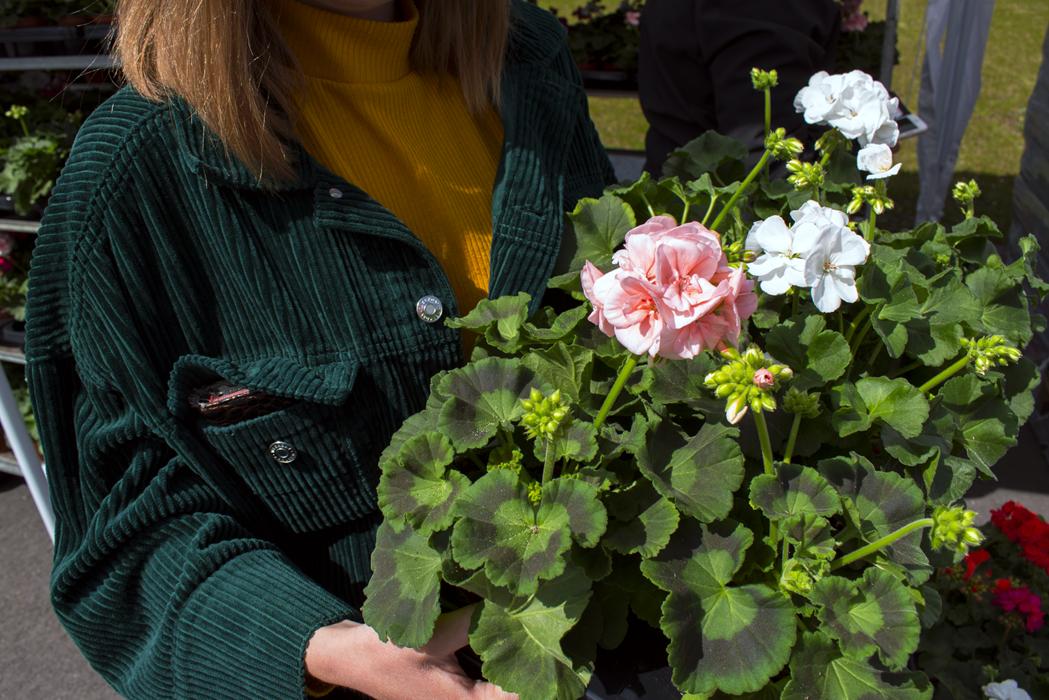 Person håller i rosa och vita pelargoner