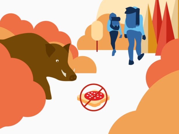 Illustration. Vildsvin tittar ut från en buske. Salamismörgås ligger på marken med ett rött kryss över. Två friluftspersoner med ryggsäck syns i bakgrunden.